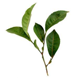 aceite esencia de arbol de té para humidificador
